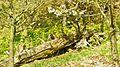 Luchs auf Baumstamm.jpg