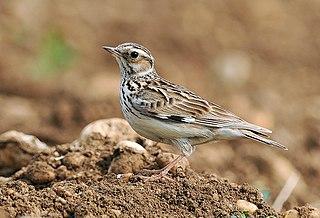 Woodlark species of bird