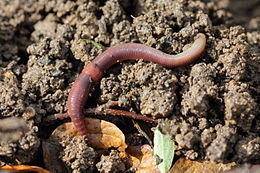 Regenwormen Wikipedia