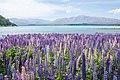 Lupinus sp. at Lake Tekapo, New Zealand 02.jpg