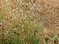 Lychnis alba (5259301236).jpg