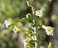 Lycium andersonii 4.jpg