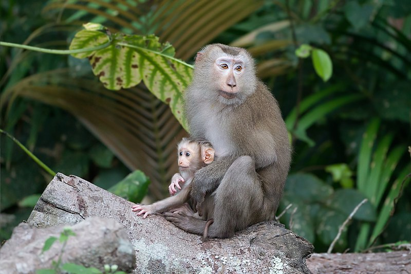 File:Macaca leonina mother with baby - Khao Yai.jpg