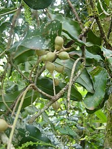 Macadamia integrifolia foliage and nuts