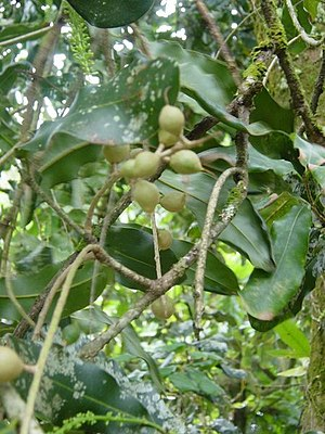 Macadamia oil - Macadamia integrifolia
