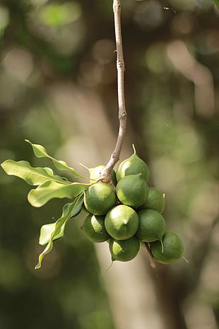<em>Macadamia integrifolia</em> nuts on the tree
