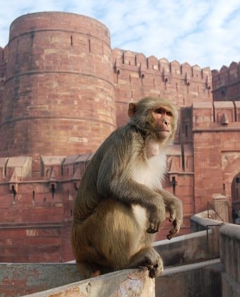 Rhesus macaque at Agra Fort, India Macaque India 3.jpg