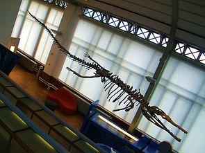 Fossil von Machimosaurus im Teylers Museum, Haarlem.