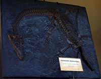 Photo of cast of skeleton of creature with long curved neck, and paddles