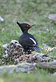 Magellanic Woodpecker (Campephilus magellanicus).jpg
