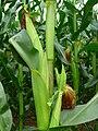 Maiskolben an der Pflanze.JPG