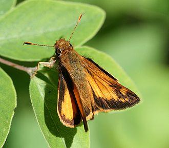 Zabulon skipper - Upperside of the male