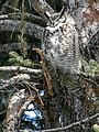 Male great horned owl (925a1838-9c41-4071-bb62-758bdc5b7ac6).jpg