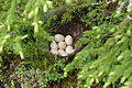 Mallard eggs and nest.jpg