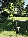 Malus tschonoskii - Botanical Garden in Kaisaniemi, Helsinki - DSC03459.JPG