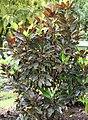 Malvaviscus arboreus 3zz.jpg