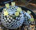 Mammillaria duwei flower.jpg
