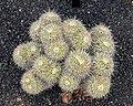 Mammillaria parkinsonii 01.jpg