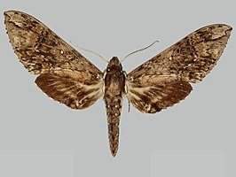 Manduca dilucida BMNHE273582 male up.jpg