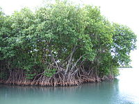Mangroves in Puerto Rico.JPG