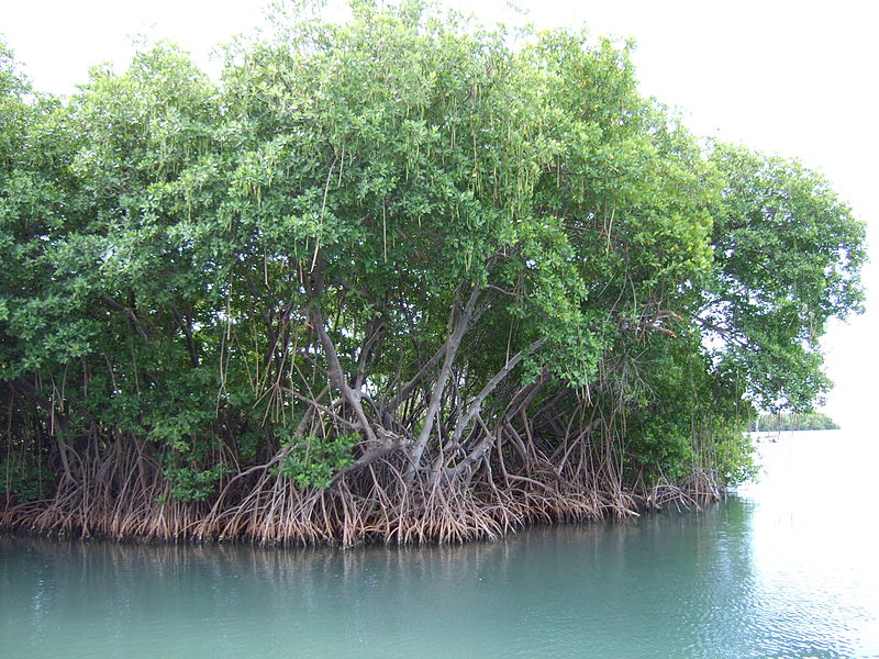 File:Mangroves in Puerto Rico.JPG