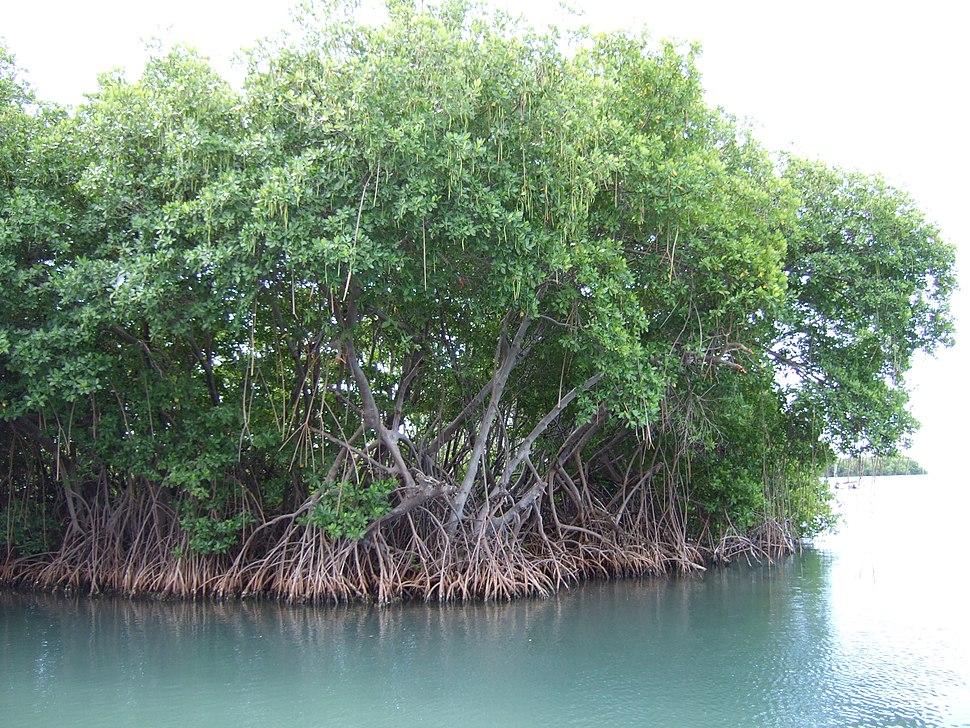 Mangroves in Puerto Rico