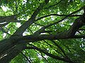 Maple - Inside Canopy - Cylburn Arboretum1.jpg