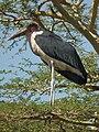 Marabou Stork Leptoptilos crumeniferus in Tanzania 3611 cropped Nevit.jpg