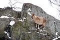 Markhor on Steep Rocks (24853315640).jpg