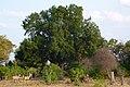 Mashatu Tree.JPG
