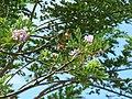 Matarratón (Gliricidia sepium) - Flor (15618313512).jpg
