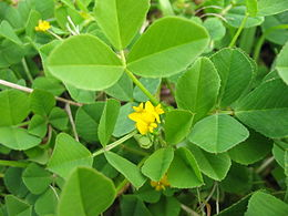 Herba do rosco (Medicago polymorpha)