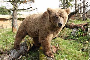 Khunjerab National Park - Image: Medvěd plavý (Ursus arctos isabellinus)
