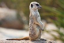 Meerkat feb 09.jpg