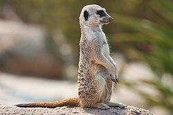 meaning of meerkat