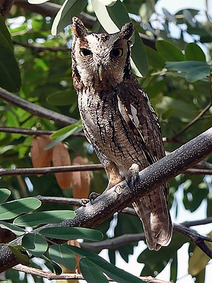 Tropical screech owl - In Ceara, Brazil