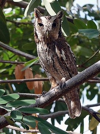 Tropical screech owl - In Ceara, Brazil