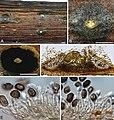 Melanconis-like fungi (10.3897-mycokeys.42.29634) Figure 3.jpg