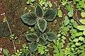 Melastomataceae sp 1501.jpg