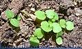 Melissa officinalis seedlings with ruler.jpg