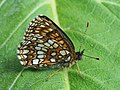 Melitaea diamina - False heath fritillary - Шашечница черноватая (29116504708).jpg