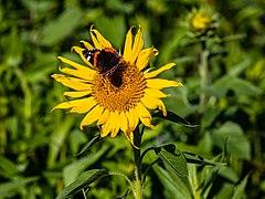 Merfeld, Sonnenblumen -- 2021 -- 6491.jpg