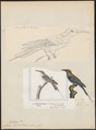 Merops bicolor - 1700-1880 - Print - Iconographia Zoologica - Special Collections University of Amsterdam - UBA01 IZ16800309.tif
