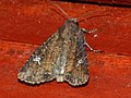 Mesapamea secalella secalis - Common rustic (41086825462).jpg