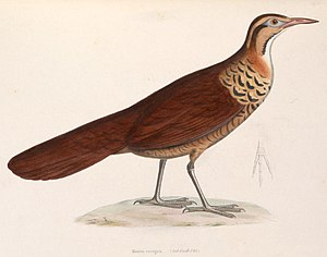 Mesite - Image: Mesitornis variegatus 1849
