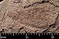 Mesocupes (Cainomerga) ponti holotype MNHN.F.A51116 part side indirect lighting.jpg