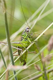 Metrioptera roeselii Female.jpg