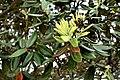 Metrosideros excelsa in Auckland Botanic Gardens 02.jpg