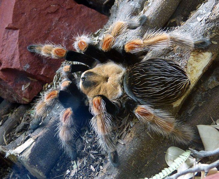 File:Mexican Fireleg Tarantula. Brachypelma. boehmei - Flickr - gailhampshire.jpg