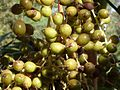 Mexican fan palm fruit detail (3375408854).jpg